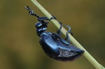 Violet Oil Beetle (Meloe violaceus)